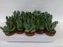 Cotyledon specialties - potmaat 5,5 cm