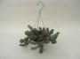Crassula marnieriana - potmaat 14* cm